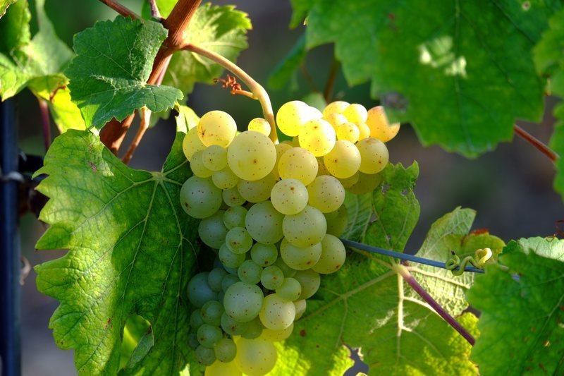 winogrona i montaż)